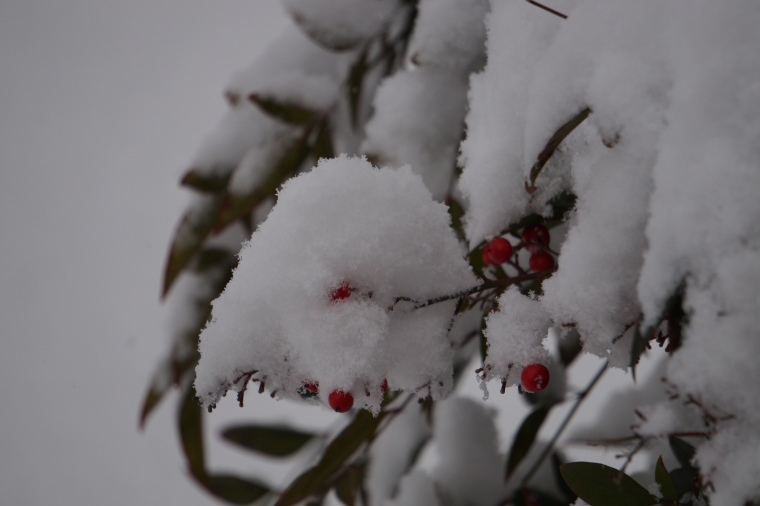 Snow on the Nandina Berries