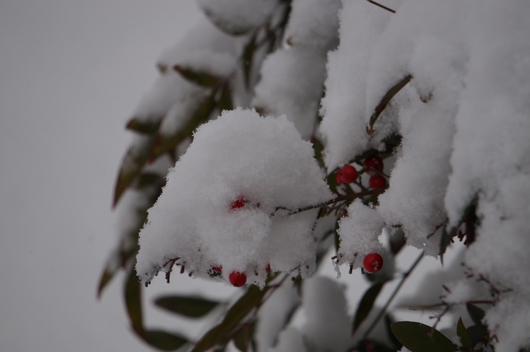 Snow on the Nandina Berries