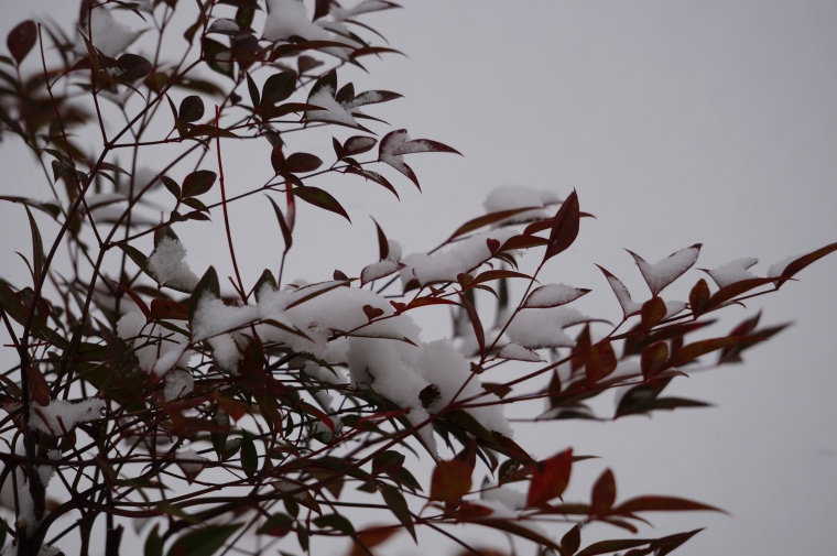 Snow on the Nandina Bushes
