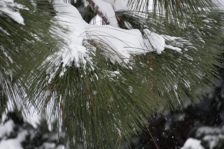 Longleaf Pine Tree Covered in Snow