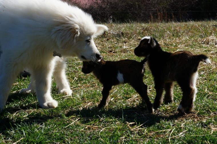 4 Month Old Great Pyrenees Training with Goat Kids