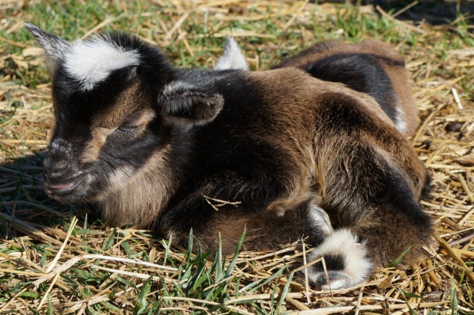 Nigerian Dwarf Goat Kidding Has Started | Goat Labor and Birthing