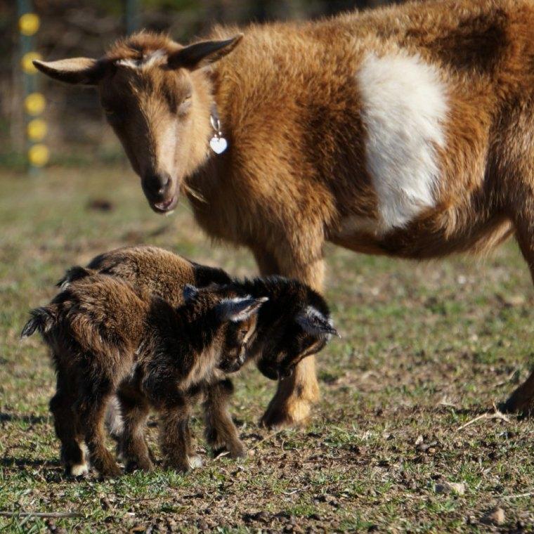 Nigerian Dwarf Goat Doe Twin Kids 12 Hours Old