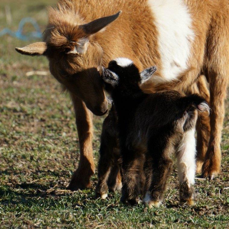 Nigerian Dwarf Goat doe with 12 Hours Old Twin Kids