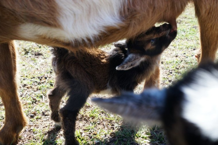Nigerian Dwarf Goat Doeling Nursing 1 Day Old