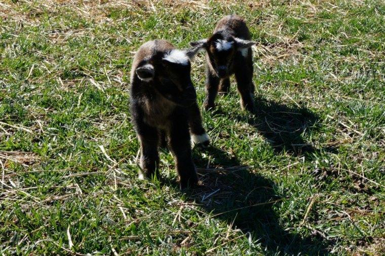 1 Day Old Twin Nigerian Dwarf Goat Kids