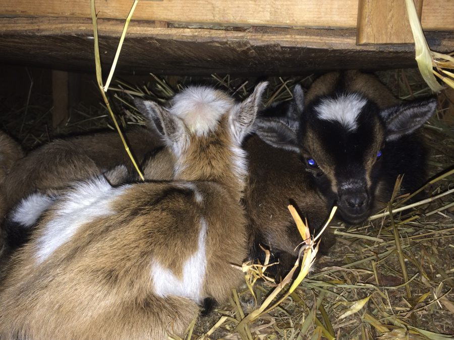 Nigerian Dwarf Goat Kids Sleeping Under Hay Feeder